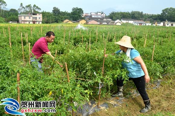 八步区桂岭镇梅桂村指天椒种植基地见闻