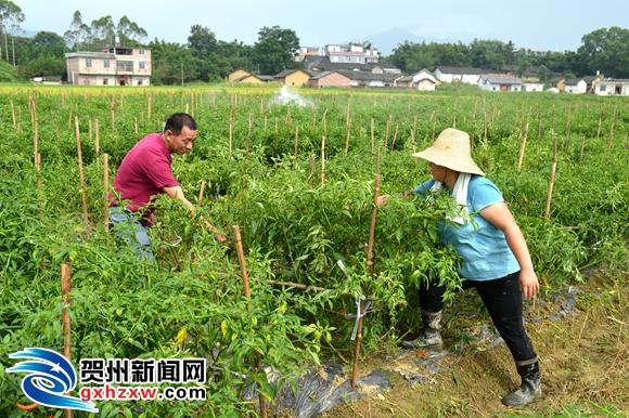 工人们正在给辣椒树喷水,采摘成熟的指天椒,一片热火朝天的劳动景象.