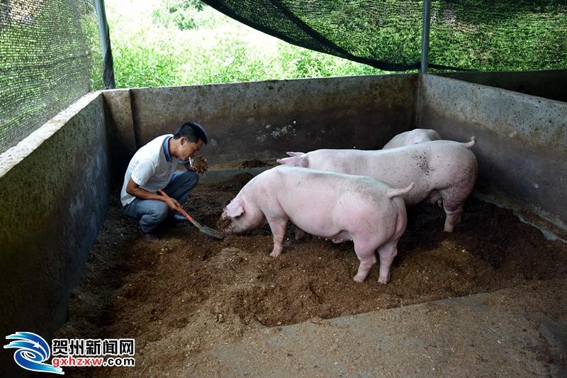 """""""零排污垫料新型养猪""""助力精准扶贫"""