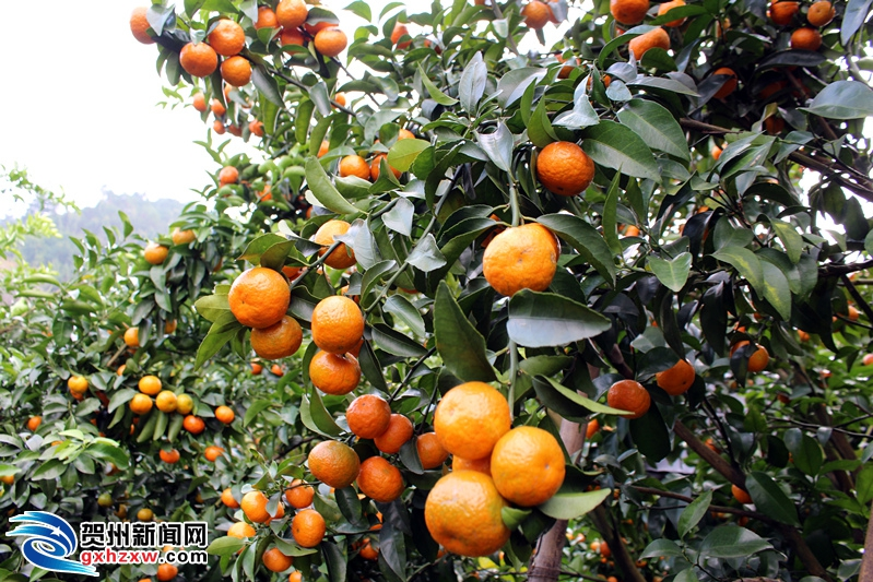 大宁镇:发展林果经济  促进农民增收