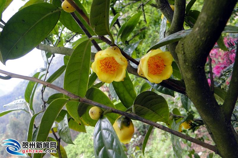 鹅塘镇丹村林下种植金花茶  特色产业出效益