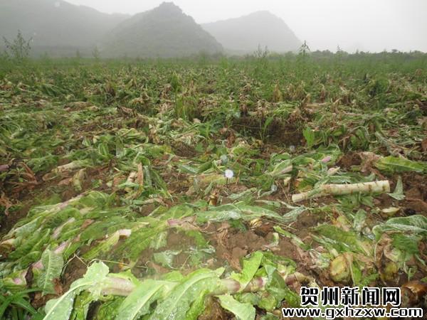 农民忍痛将滞销莴笋毁于田