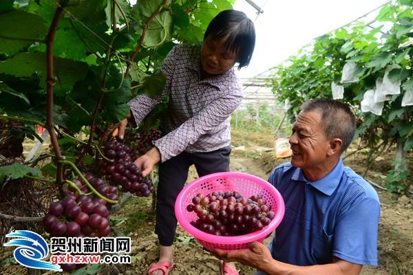 葡萄熟了 果农笑了