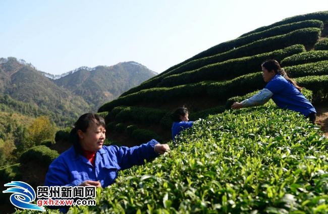 昭平:19万亩早春茶开采