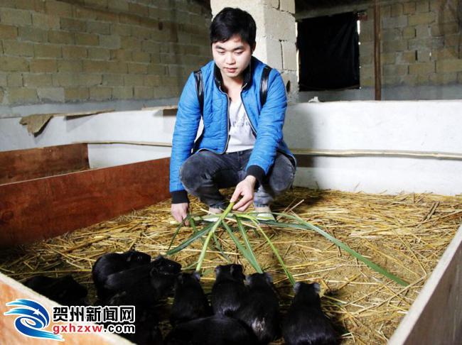 钟山:返乡青年创办黑豚鼠养殖场