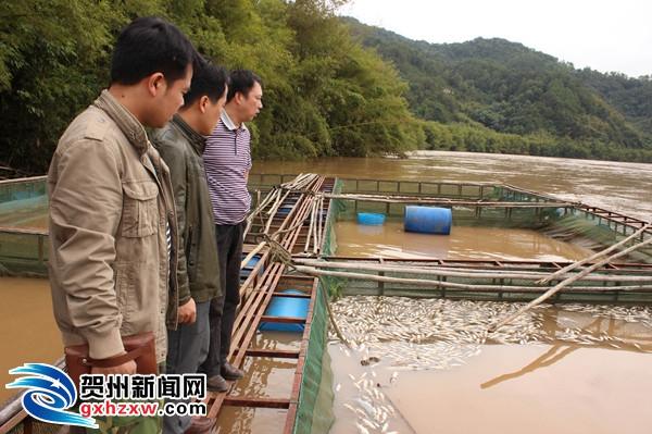 昭平县五将镇良风村网箱鱼出现大面积死亡