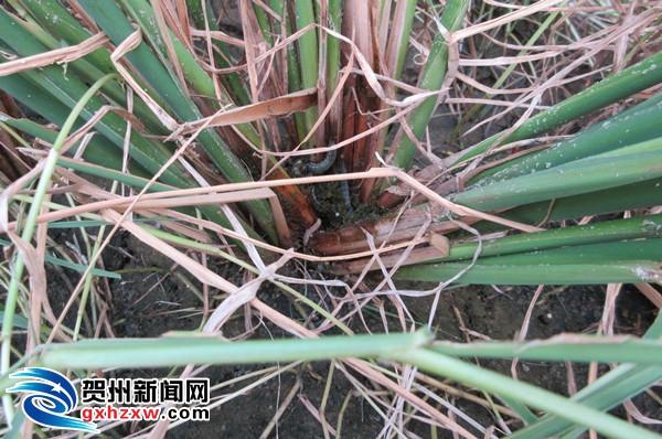 富川县第一架无人水稻空中植保飞机喷洒农药