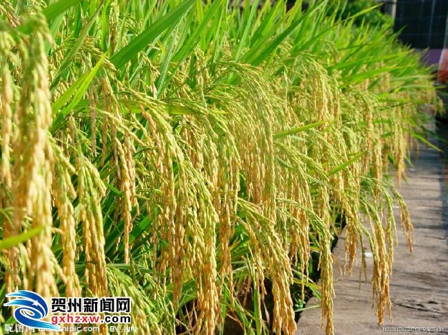 钟山获评全国水稻绿色高产高效整建创建示范县
