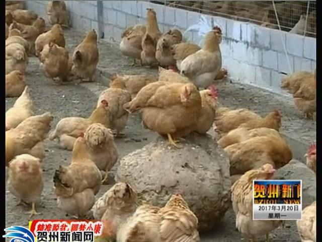【精准脱贫 圆梦小康】贺州:多举措开展产业帮扶 促农户增收致富