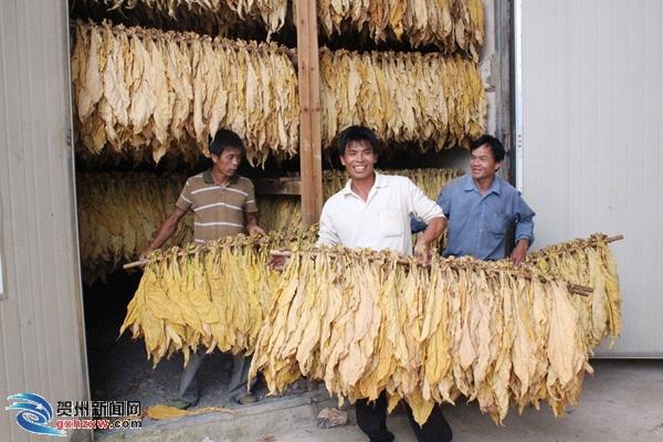 石家乡烤烟喜获丰收 预计产值超1900万元