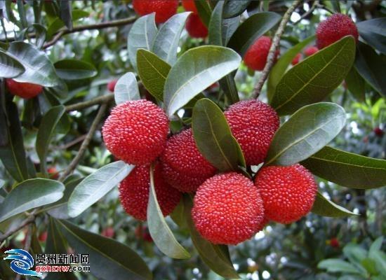 富川:建立杨梅种植基地  农家生态游受追捧