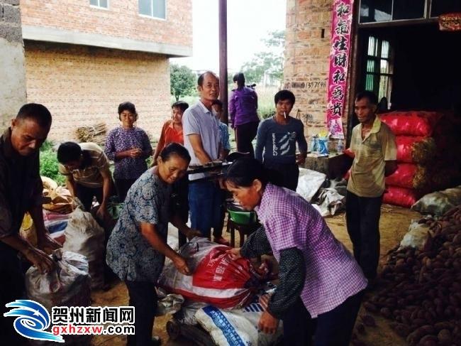 富川:紫薯丰收 地里长出大产业