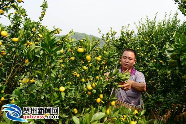昭平:满园橘香迎来丰收季