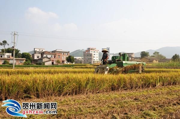 平桂11.59万亩晚稻喜开镰