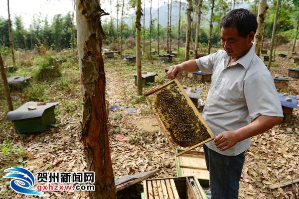 """生态昭平""""酿成""""蜂蜜产业"""