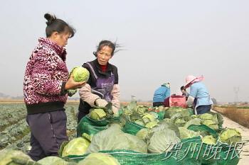 秋冬菜种植助农致富