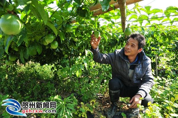 平桂实现水果产值首破1亿元